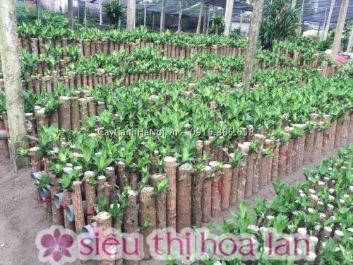 cây thiết mộc lan có nhiều tên gọi khác nhau