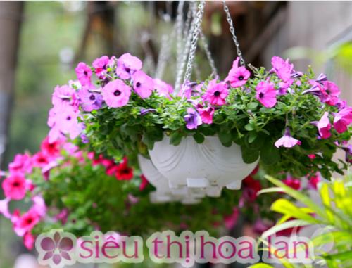 Cây dạ yến thảo- hoa ban công đẹp