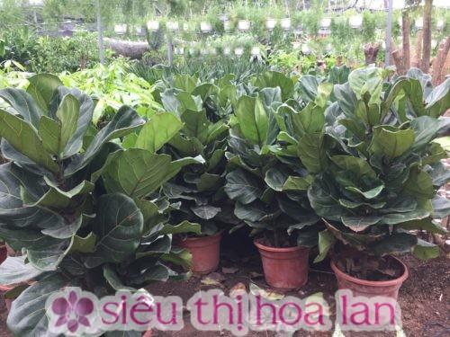 Tránh đặt cây bàng Singapore ở nơi có nắng gắt