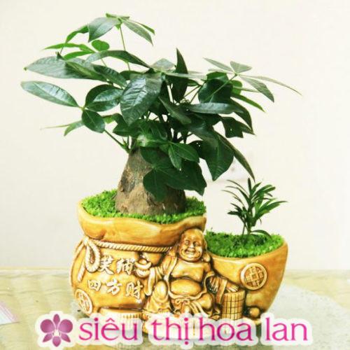 cây kim ngân- cây cảnh quà tặng Hàn Quốc đẹp