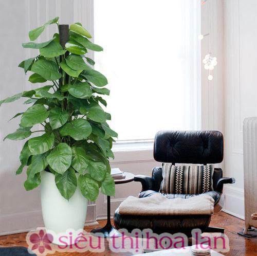 Cây trầu bà cột- cây cảnh quà tặng Hàn Quốc đẹp