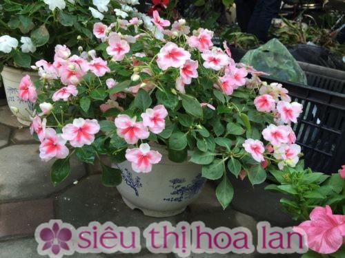 Tưới nước đúng mức cho cây hoa dạ yến thảo