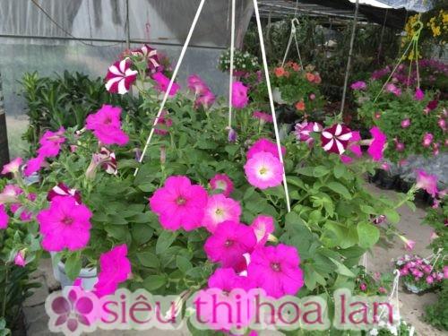 Hoa dạ yến thảo mang ý nghĩa sâu sắc