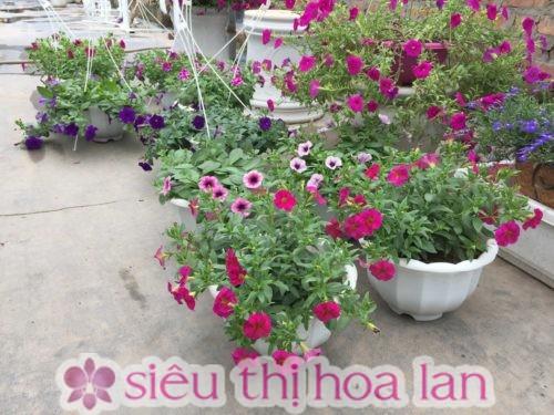 Hoa dạ yến thảo có nhiều tên gọi khác nhau