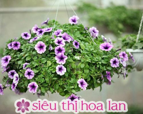 Hoa dạ yến thảo cánh mỏng