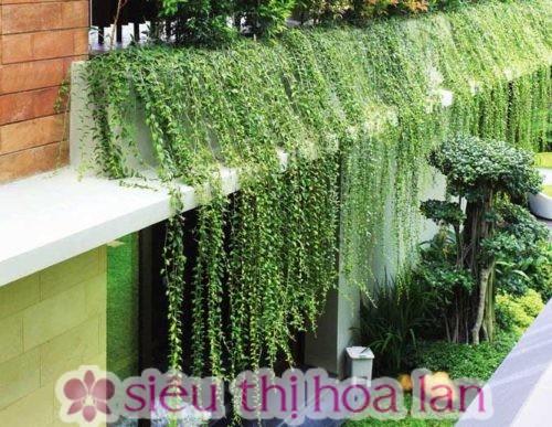 Cây cúc tần Ấn Độ- cây dây leo giàn đẹp