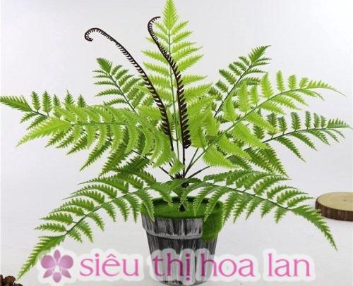 Cây dương xỉ- cây giỏ treo đẹp