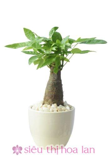 Cách trồng và chăm sóc cây phong thủy