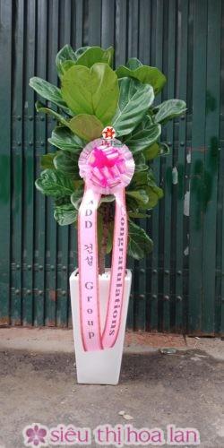 Cây bàng Singapore- cây quà tặng khai trương đẹp