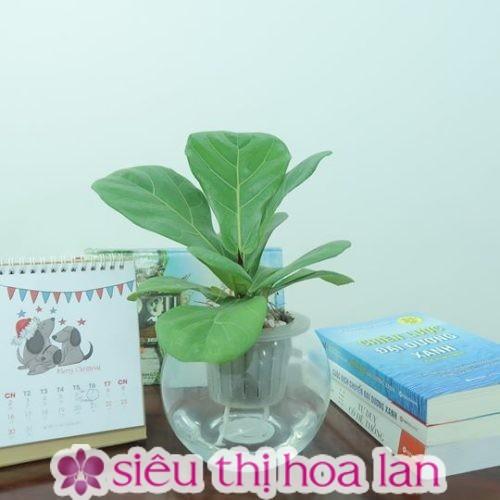 Cây bàng Singapore- cây thủy canh đẹp