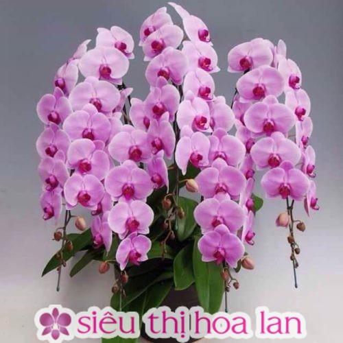 Hoa lan hồ điệp ra có thời điểm ra hoa riêng