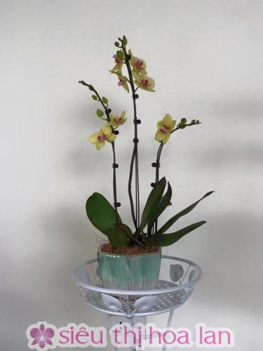 Cây hoa lan hồ điệp phát triển tốt với nhiệt độ thích hợp